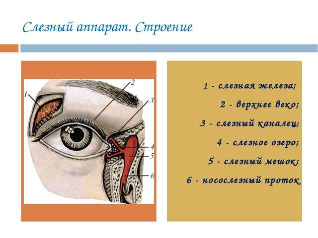Слезный аппарат. Строение 1 - слезная железа; 2 - верхнее веко; 3 - слезный к...
