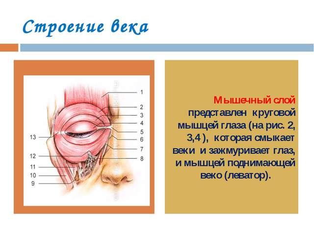 Строение века Мышечный слой представлен круговой мышцей глаза (на рис. 2, 3,4...
