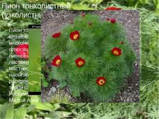 Пион тонколистный (узколистный) Пион тонколистный (Paeonia tenuifolia) — крас
