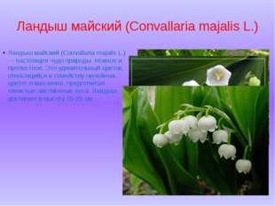 Ландыш майский (Convallaria majalis L.) Ландыш майский (Convallaria majalis L