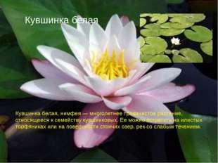 Кувшинка белая Кувшинка белая, нимфея — многолетнее травянистое растение, отн