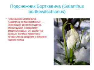 Подснежник Борткевича (Galanthus bortkewitschianus) Подснежник Борткевича (Ga