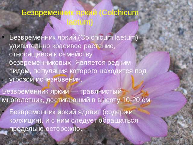 Безвременник яркий (Colchicum laetum) Безвременник яркий (Colchicum laetum) —...