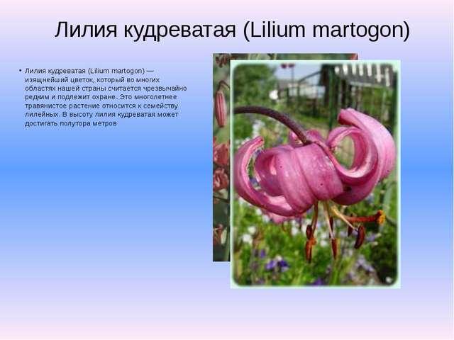 Лилия кудреватая (Lilium martogon) Лилия кудреватая (Lilium martogon) — изящн...