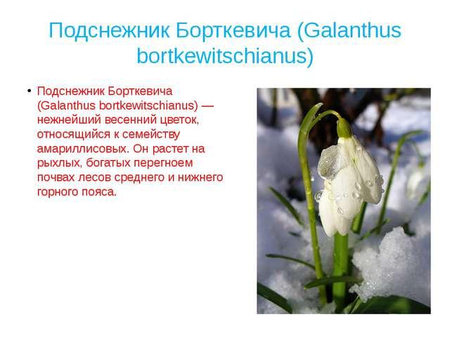 Подснежник Борткевича (Galanthus bortkewitschianus) Подснежник Борткевича (Ga...