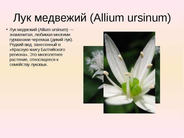 Лук медвежий (Allium ursinum) Лук медвежий (Allium ursinum) — знаменитая, люб...