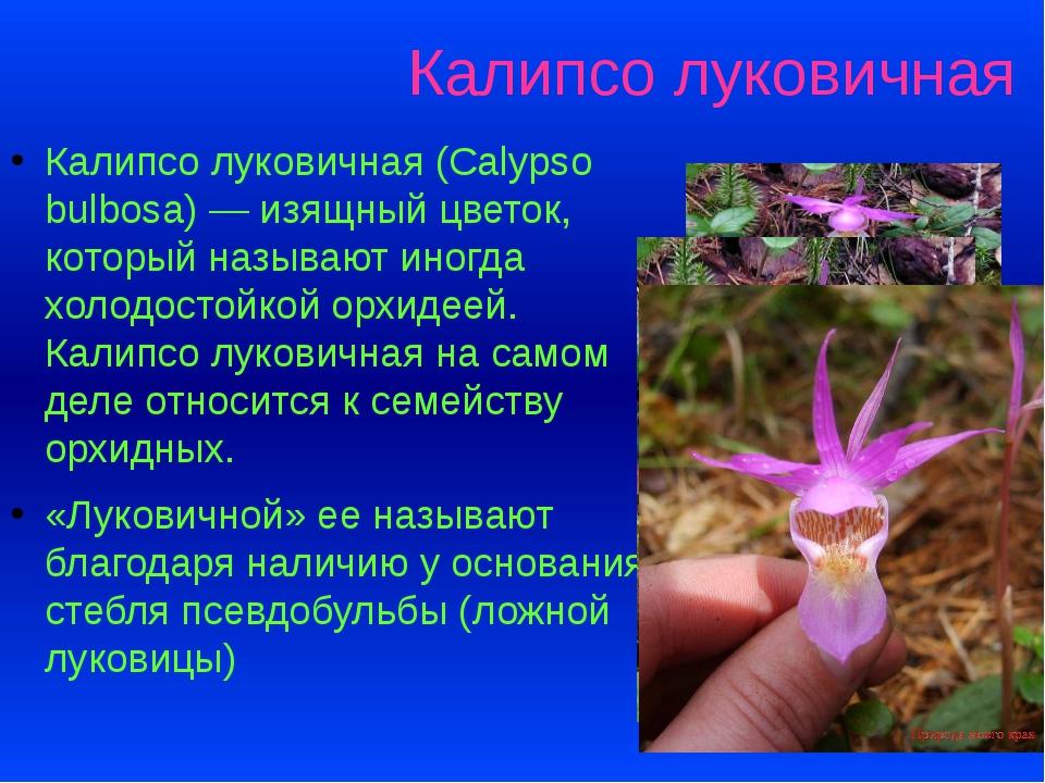 Калипсо луковичная Калипсо луковичная (Calypso bulbosa) — изящный цветок, кот...