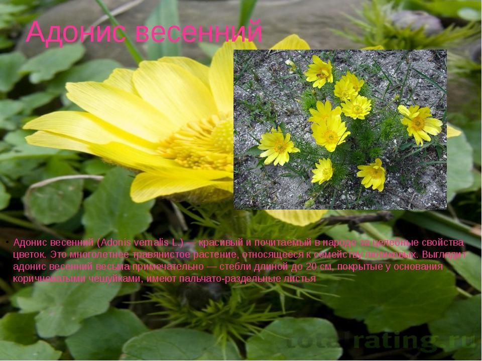 Адонис весенний Адонис весенний (Adonis vernalis L.) — красивый и почитаемый...