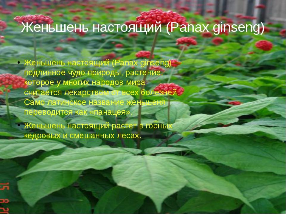 Женьшень настоящий (Panax ginseng) Женьшень настоящий (Panax ginseng) — подли...
