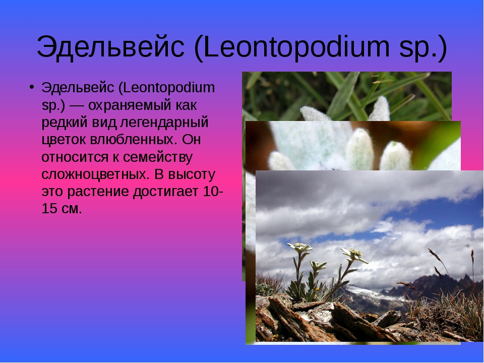 Эдельвейс (Leontopodium sp.) Эдельвейс (Leontopodium sp.) — охраняемый как ре...