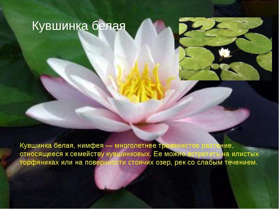 Кувшинка белая Кувшинка белая, нимфея — многолетнее травянистое растение, отн...