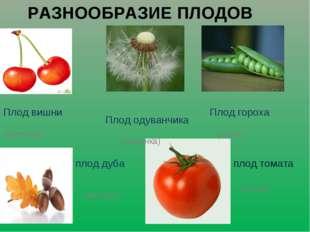 РАЗНООБРАЗИЕ ПЛОДОВ плод томата (ягода) плод дуба (желудь) Плод вишни Плод од