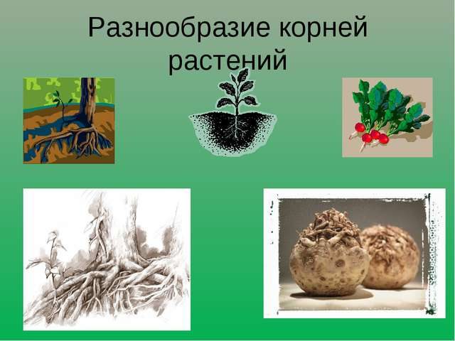 Разнообразие корней растений