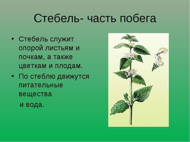 Стебель- часть побега Стебель служит опорой листьям и почкам, а также цветкам...