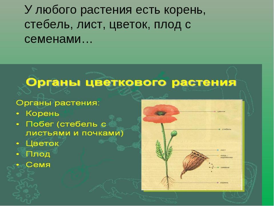 У любого растения есть корень, стебель, лист, цветок, плод с семенами…