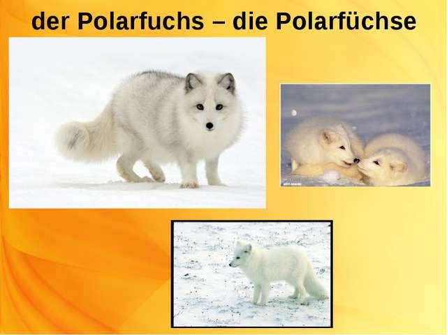 der Polarfuchs – die Polarfüchse