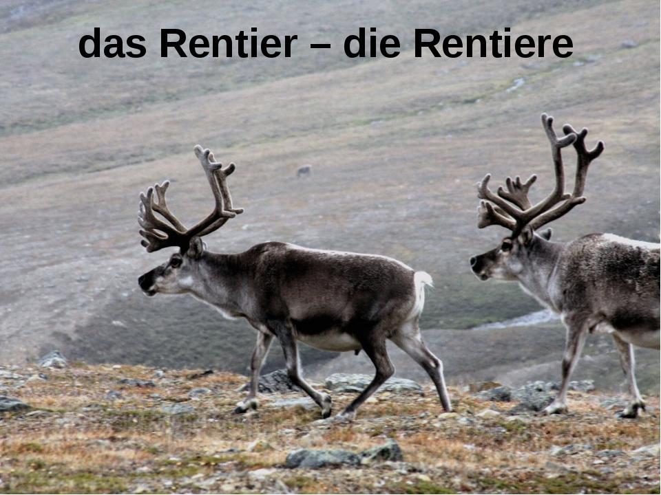 das Rentier – die Rentiere