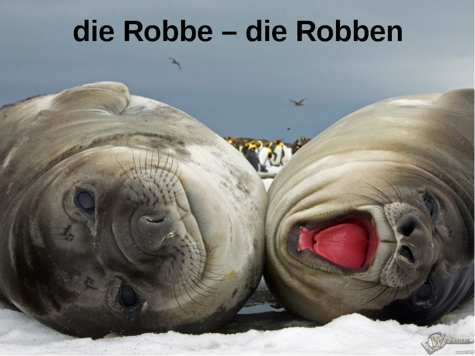 die Robbe – die Robben