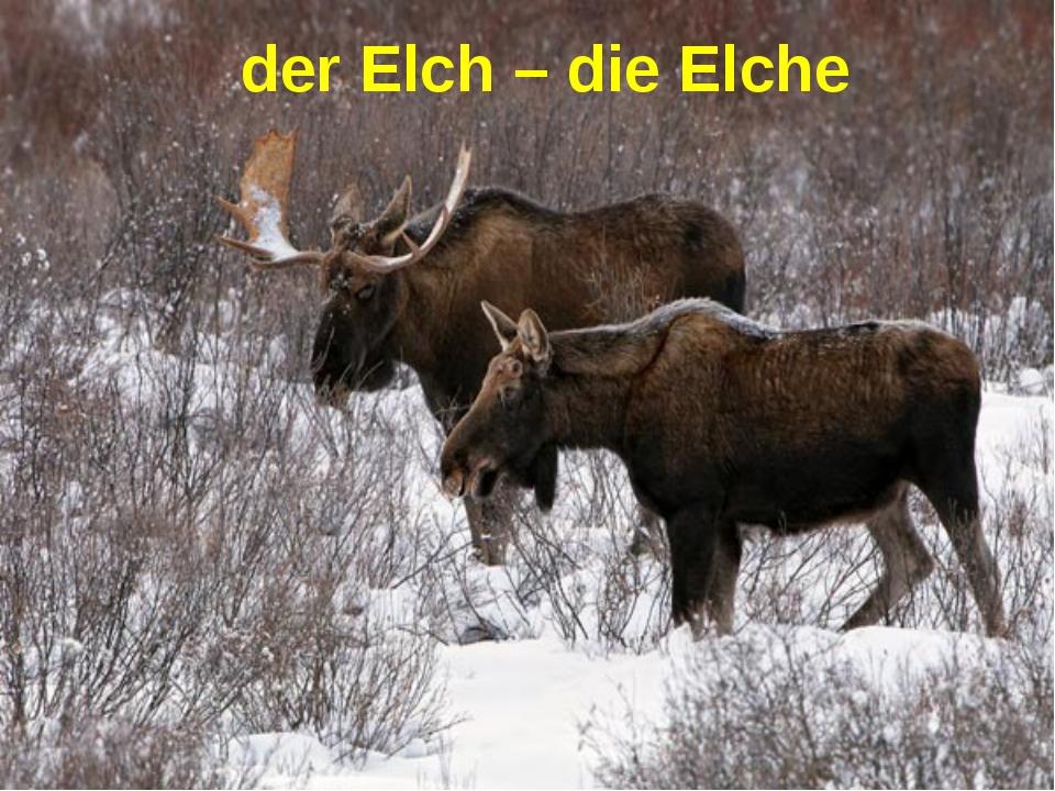 der Elch – die Elche