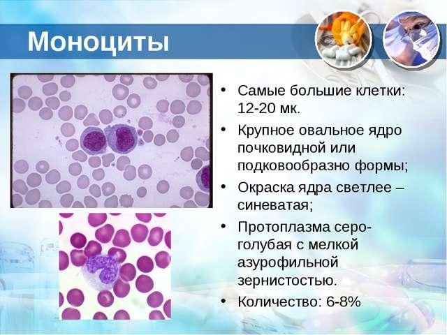 Моноциты Самые большие клетки: 12-20 мк. Крупное овальное ядро почковидной ил...