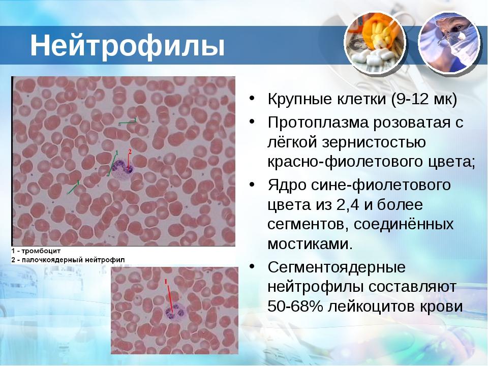 Нейтрофилы Крупные клетки (9-12 мк) Протоплазма розоватая с лёгкой зернистост...