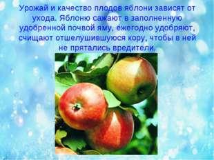 Урожай и качество плодов яблони зависят от ухода. Яблоню сажают в заполненную