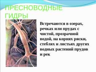 ПРЕСНОВОДНЫЕ ГИДРЫ Встречаются в озерах, речках или прудах с чистой, прозрачн
