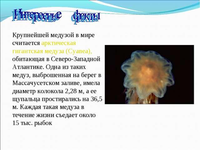 Крупнейшей медузой в мире считается арктическая гигантская медуза (Cyanea), о...