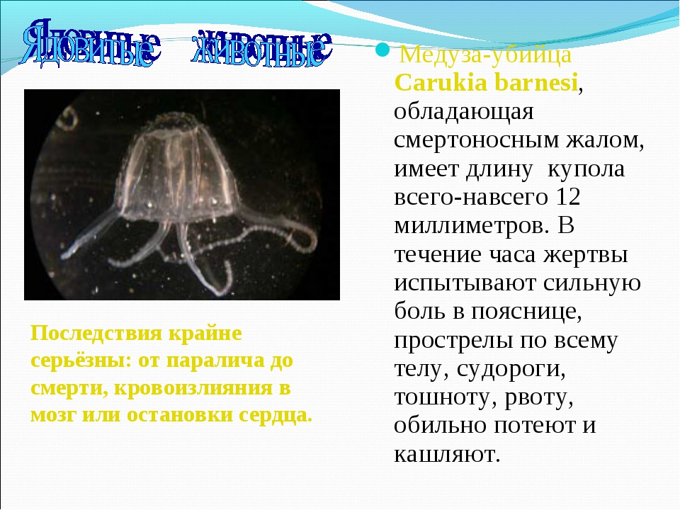 Медуза-убийца Carukia barnesi, обладающая смертоносным жалом, имеет длину куп...