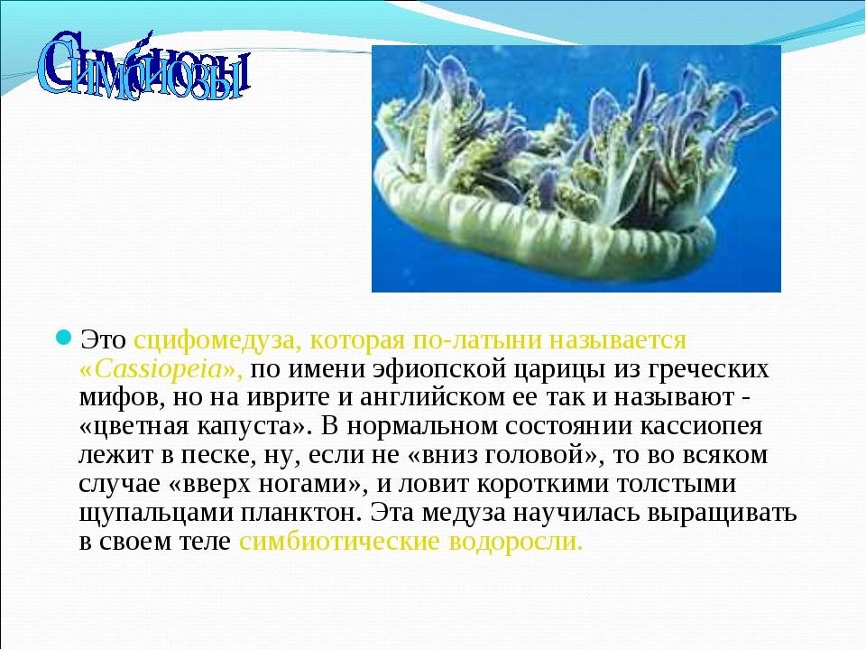 Это сцифомедуза, которая по-латыни называется «Cassiopeia», по имени эфиопско...