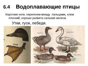 Водоплавающие птицы Короткие ноги, перепонки между пальцами, клюв плоский, хо