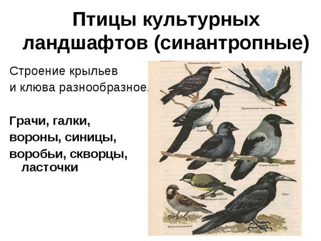 Птицы культурных ландшафтов (синантропные) Строение крыльев и клюва разнообра...