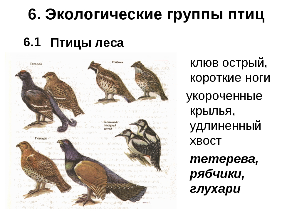 6. Экологические группы птиц Птицы леса клюв острый, короткие ноги укороченн...