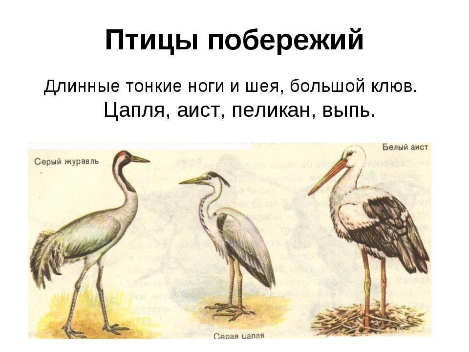 Птицы побережий Длинные тонкие ноги и шея, большой клюв. Цапля, аист, пеликан...