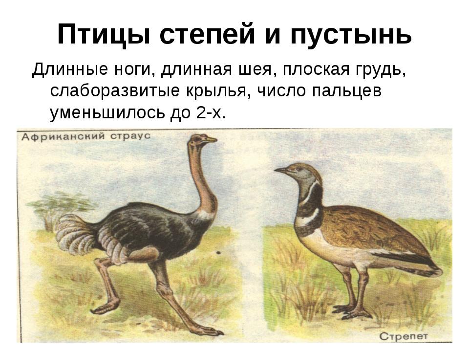Птицы степей и пустынь Длинные ноги, длинная шея, плоская грудь, слаборазвиты...