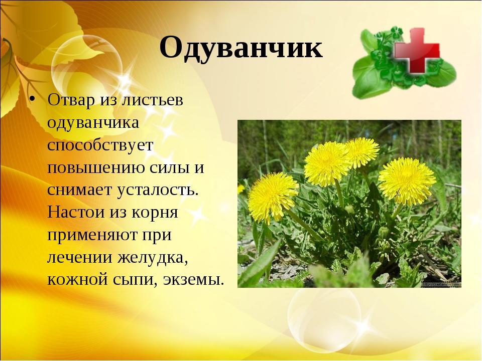 Одуванчик Отвар из листьев одуванчика способствует повышению силы и снимает у...
