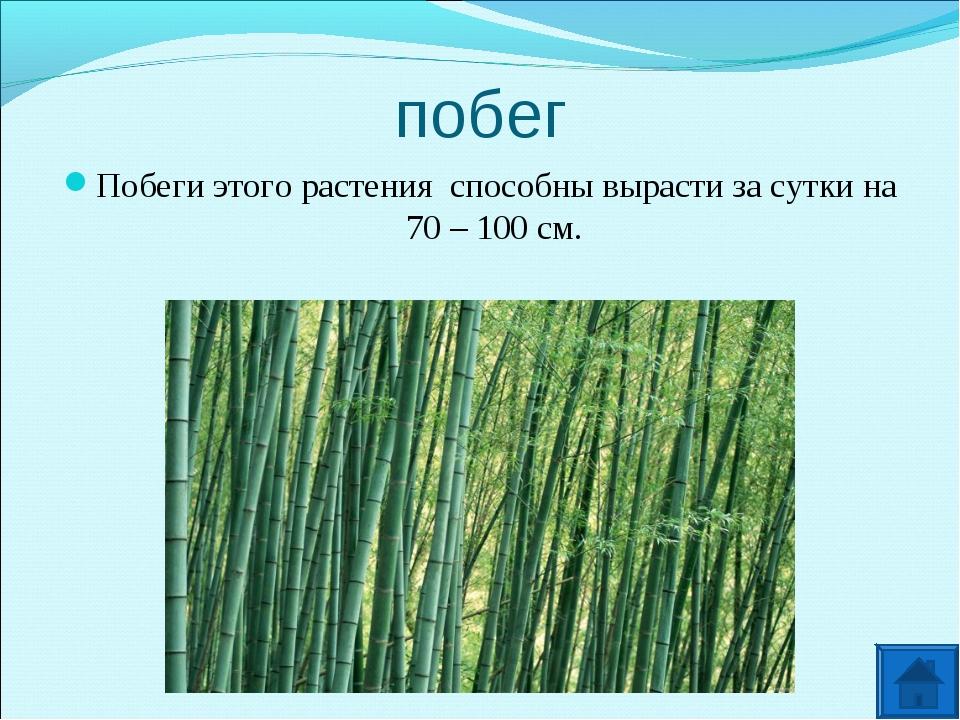 побег Побеги этого растения способны вырасти за сутки на 70 – 100 см.