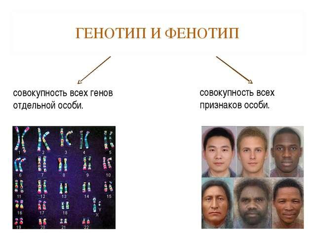 ГЕНОТИП И ФЕНОТИП совокупность всех генов отдельной особи. совокупность всех...