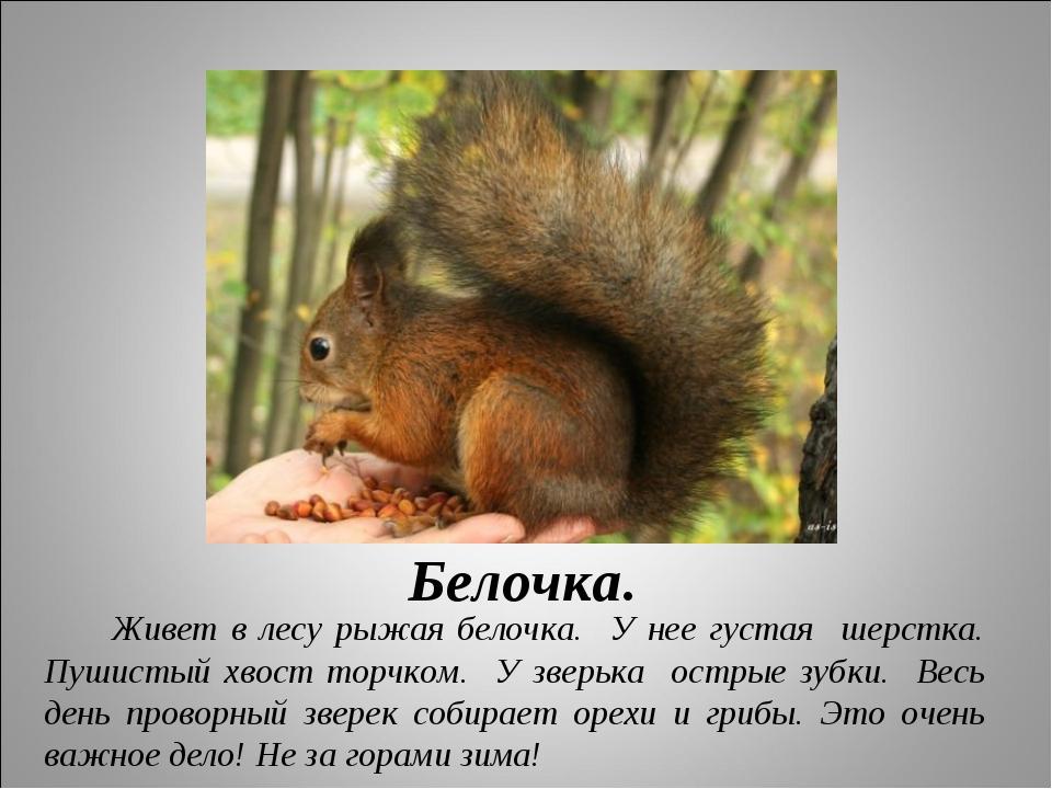 Белочка. Живет в лесу рыжая белочка. У нее густая шерстка. Пушистый хвост тор...