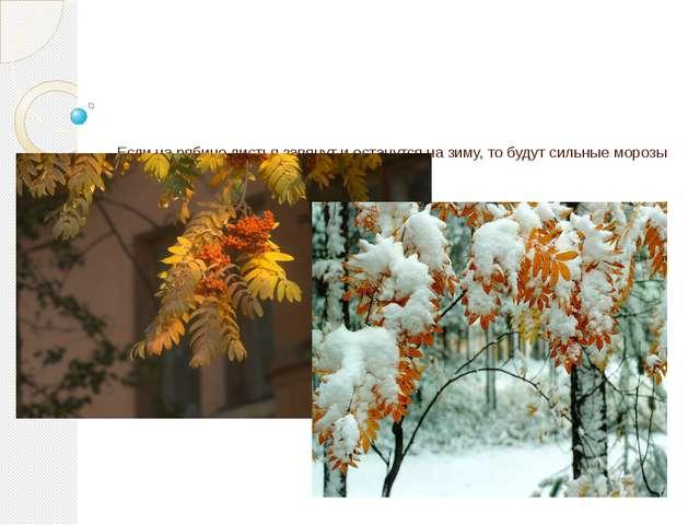 Если на рябине листья завянут и останутся на зиму, то будут сильные морозы