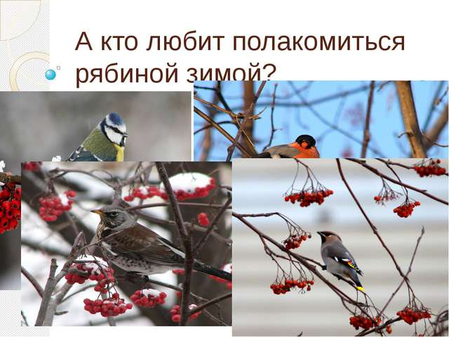 А кто любит полакомиться рябиной зимой?