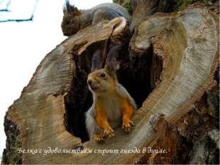 Белка с удовольствием строит гнезда в дупле.