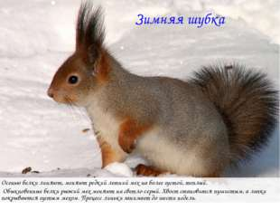 Зимняя шубка Осенью белки линяют, меняют редкий летний мех на более густой, т