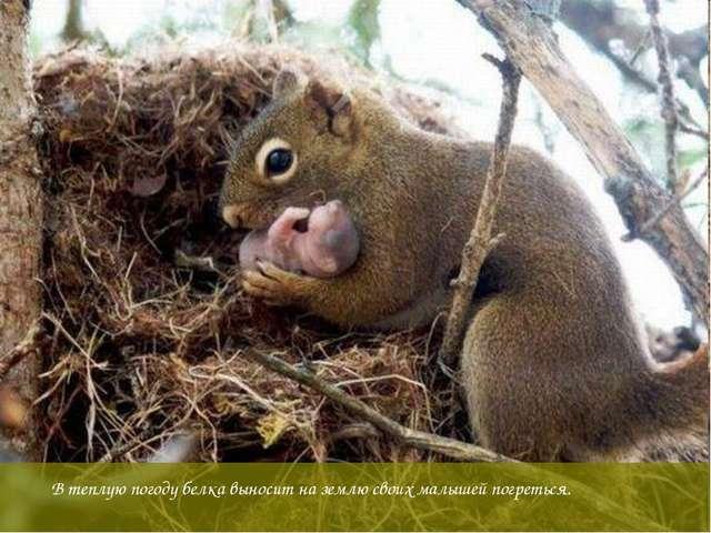 В теплую погоду белка выносит на землю своих малышей погреться.