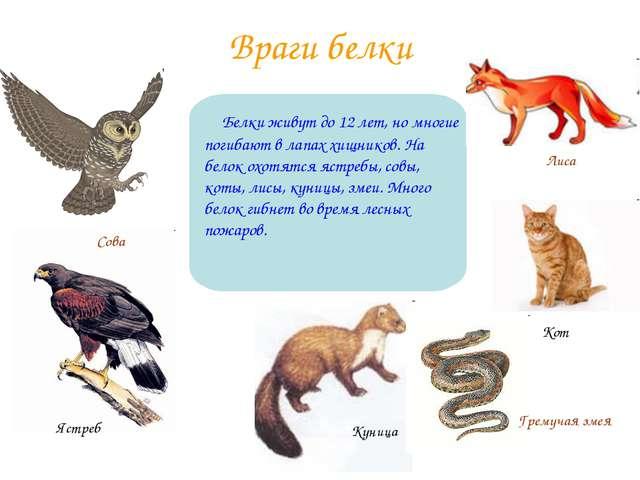 Враги белки Белки живут до 12 лет, но многие погибают в лапах хищников. На бе...