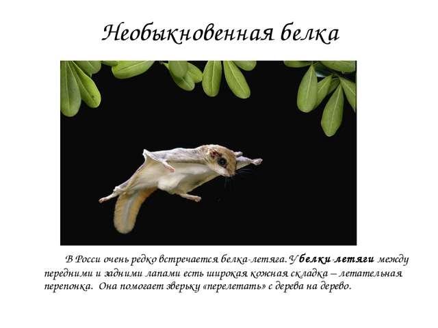 Необыкновенная белка В Росси очень редко встречается белка-летяга. У белки-ле...