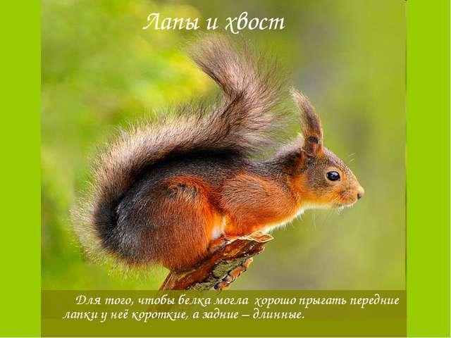 Лапы и хвост Для того, чтобы белка могла хорошо прыгать передние лапки у неё...