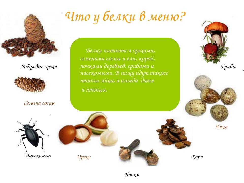 Что у белки в меню? Белки питаются орехами, семенами сосны и ели, корой, почк...