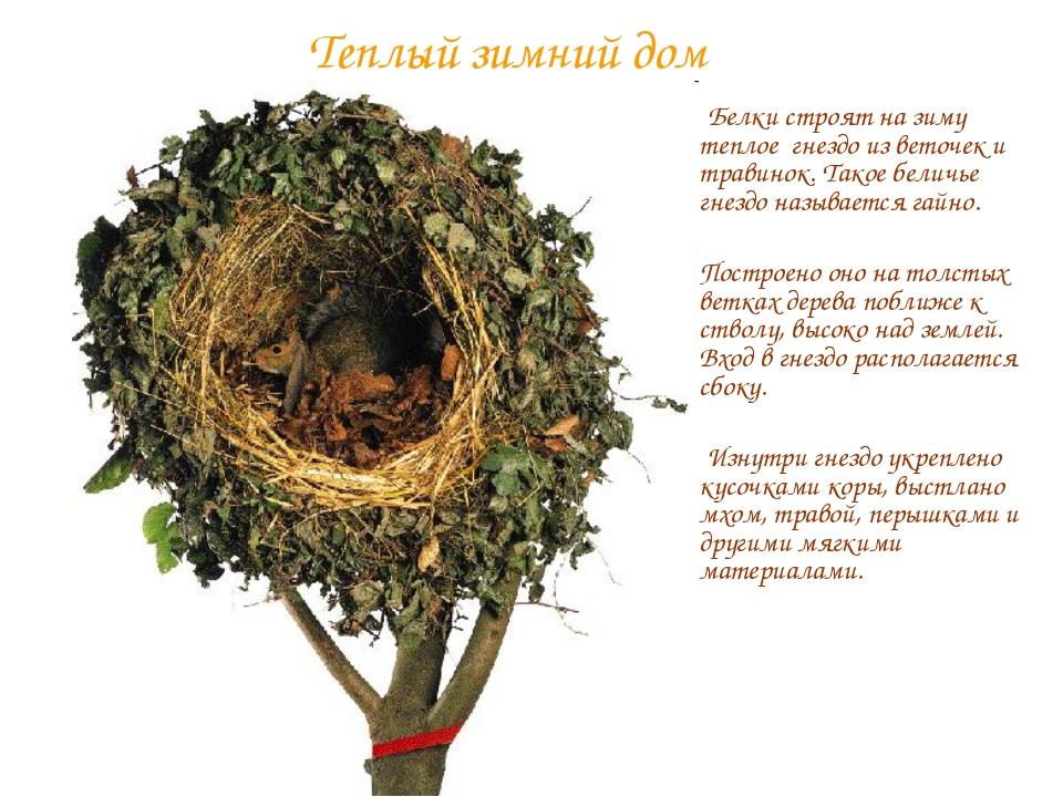 Теплый зимний дом Белки строят на зиму теплое гнездо из веточек и травинок. Т...