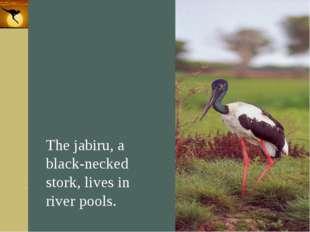 Company Logo The jabiru, a black-necked stork, lives in river pools. Company